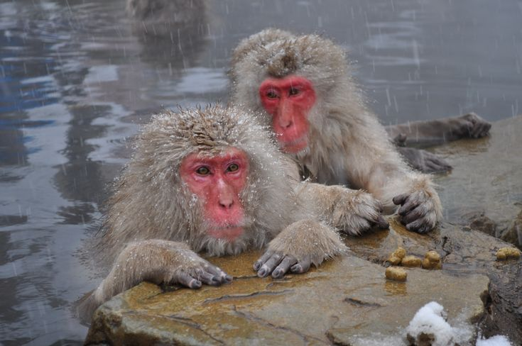 Japanese macaque - Wikipedia, the free encyclopedia