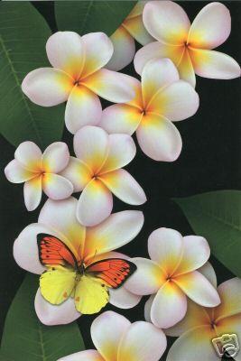 Glorious Frangipani! or as I know it - plumeria!  Oh, so fragrant and beautiful!