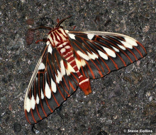 Splendid Konigliche Motte Citheronia Splendens Sinaloensis In 2020 Moth Moth Caterpillar Giant Moth