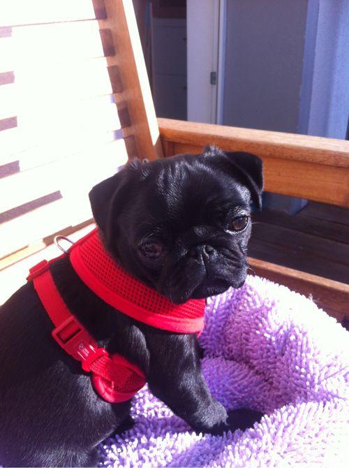 Little pug is basking in the sunshine