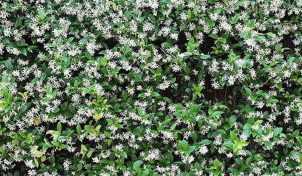 Jasmine - good for coverage - climb over fence to block out neighbours