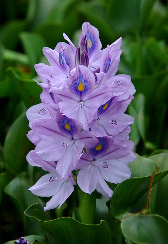 Water hyacinth flowers pictures