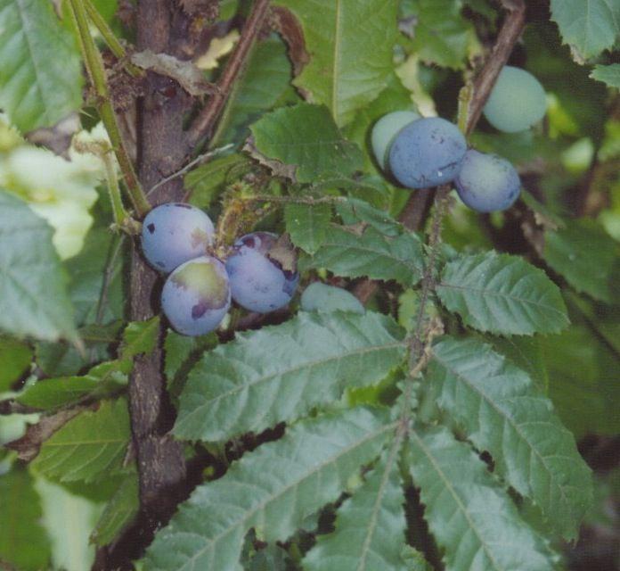 Top 5 edible bush tucker plants