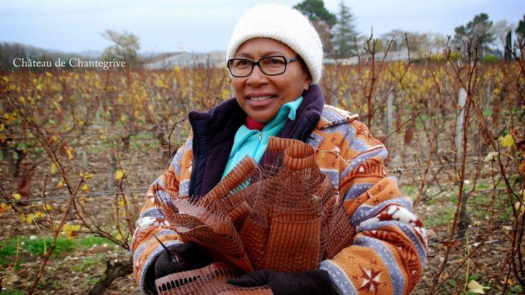 La vigne se prépare à la taille - on enlève les protections ! pruning