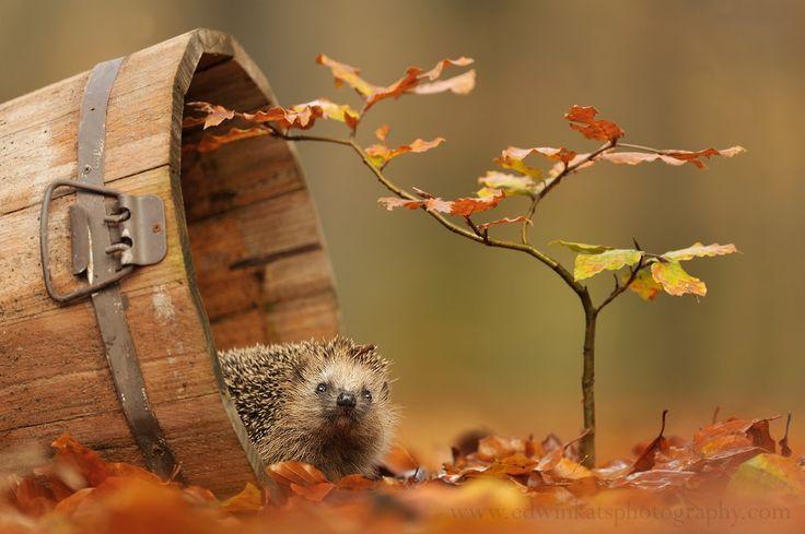 Spikey The Hedgehog by Edwin Kats on 500px
