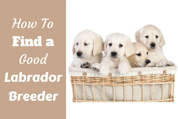Not all Labrador Breeders are created equal. Some are good, some are not so…