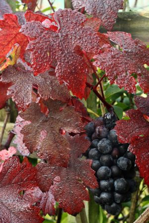 Vitis vinifera purpurea in autumn growing on columns at entry