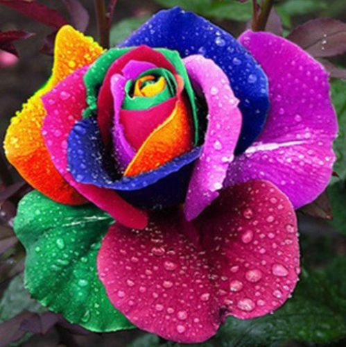 Rainbow-Rose-Seeds-Multicolor-Variety Roses-Winter Hardy-This multi-colored rose is a real stopper-Excellent cut flower-Trellis climbing-Attracts hummingbirds  ebay