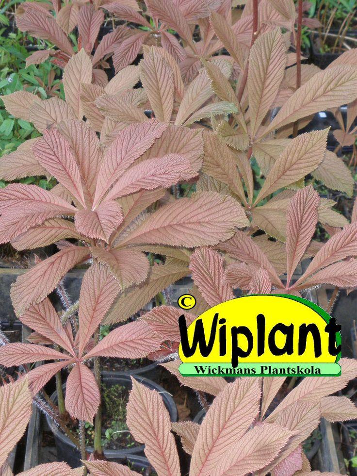 Rodgersia aethusifolia, parasollblad. Mycket snygga blad på våren och också de nya skott som växer senare under säsongen. Planteras i halvskugga eller med tillräcklig fukthållande jord. Bildar breda ståtliga  bestånd. Höjd 100-130 cm.