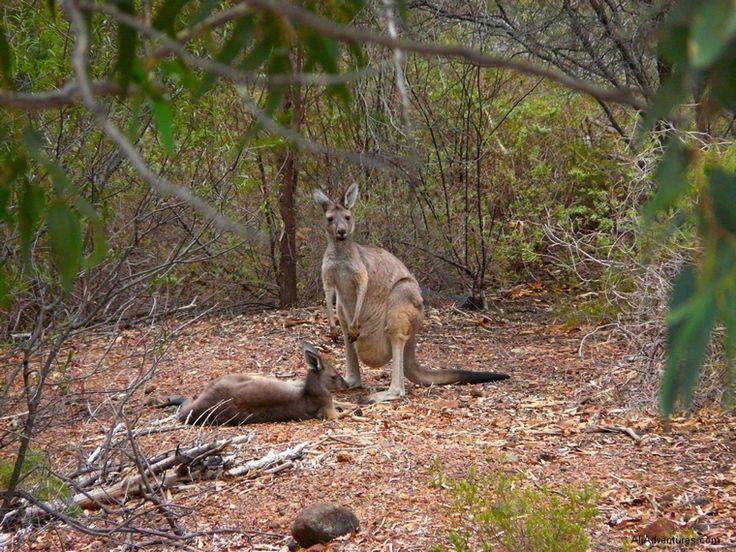 kangaroo, Perth, Australia