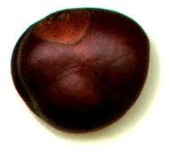"""buckeyes are used as pocket pieces among men, for by """"luck,"""" they mean good fortune in sexual matters, and buckeyes certainly recall in ..."""