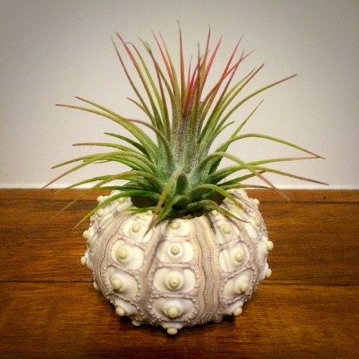Sputnik urchin planter for air plant #airplants #tillandsia #planters #urchin #shells #ethicallysourced