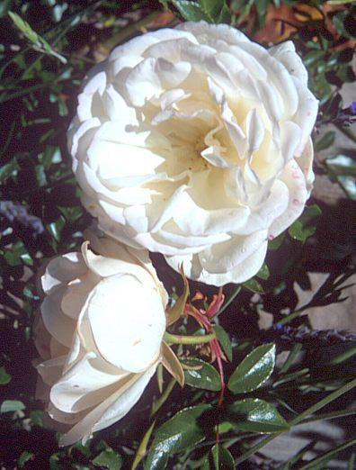 iceberg rose climbing houston flower gardens pinterest. Black Bedroom Furniture Sets. Home Design Ideas