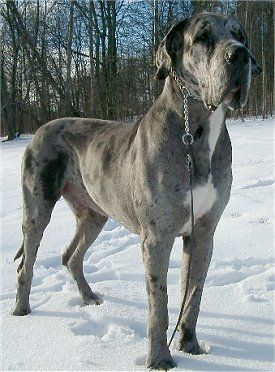 Looks like a dane/mastiff mix. It's a beautiful dog, but I can't help but think it's a drooly, hyperactive mess.