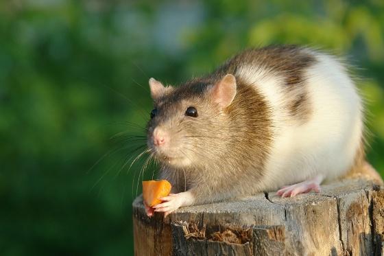 Szczur:  http://www.kakadu.pl/Gryzonie/szczur.html