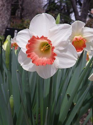 Pink Daffodils | Narcissus Large Cup Narcissus 'Pink Charm'