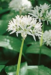 Allium Ursinum -Bulbs