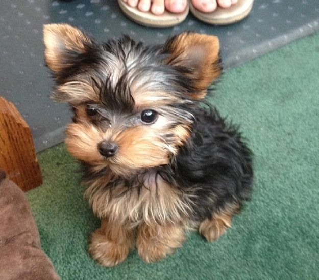 Yorkie pup ... Tiny Teacup Dogs are SO adorable!!!