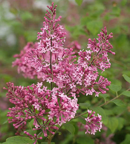 New shrubs 2016 -- 'Pink Perfume' is the latest addition to the Bloomerang series of reblooming lilacs.