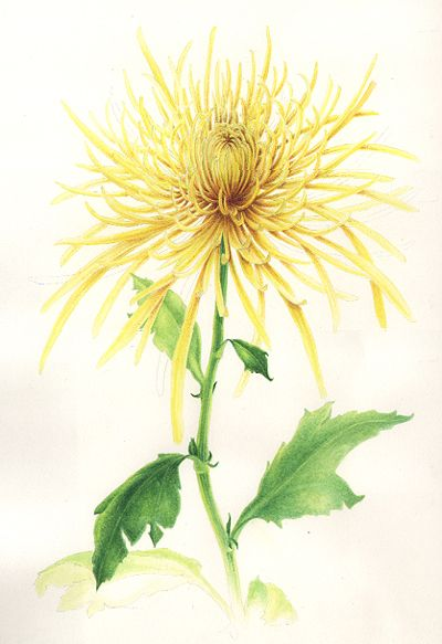 Spider Mum: Flora Chrysanthemums, Fascion Alcorn, Spiders Mums, Sabina Alcorn, Botanical Prints, Spider Us, Art Chrysanthemums, Sabina Fascion, Botanical Art