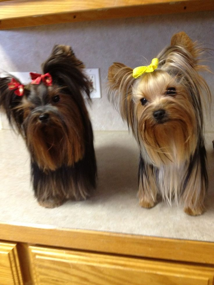 Would you take these Yorkies home if you could?