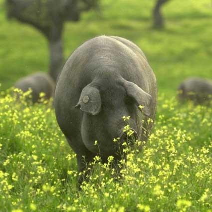 Plantas, flores, pequeños insectos, caracoles y, por supuesto, LA BELLOTA son los alimentos del Cerdo Ibérico de Bellota