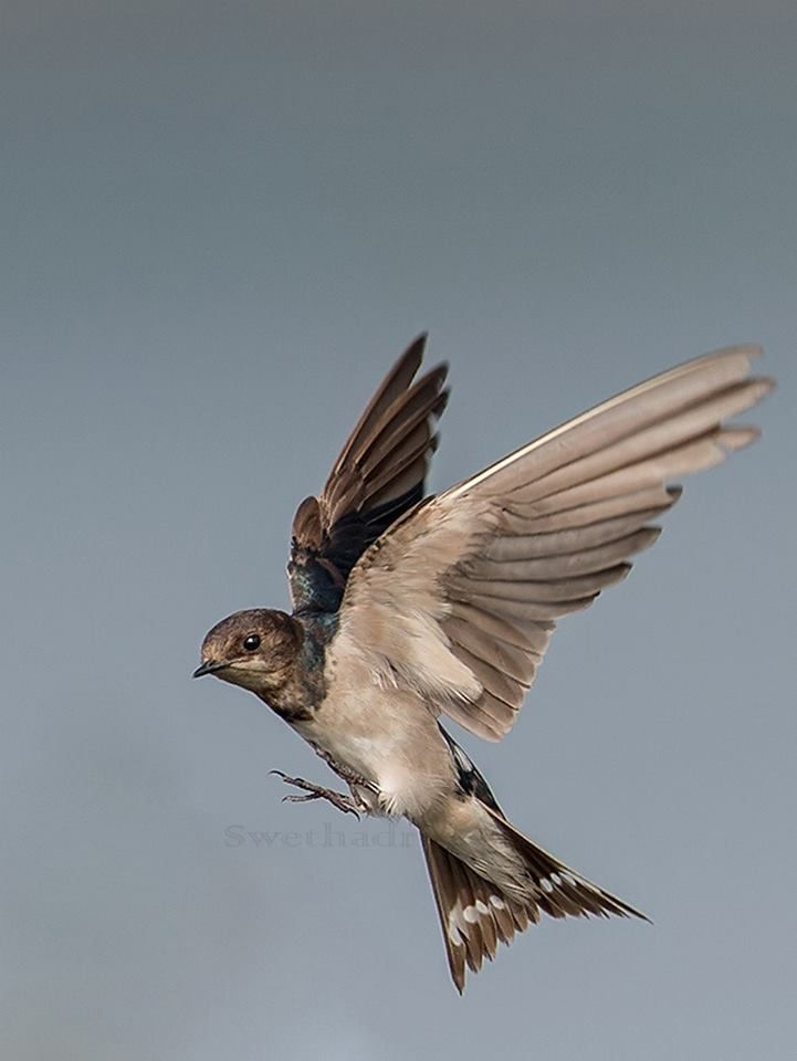 Best images about swallows on pinterest wild birds