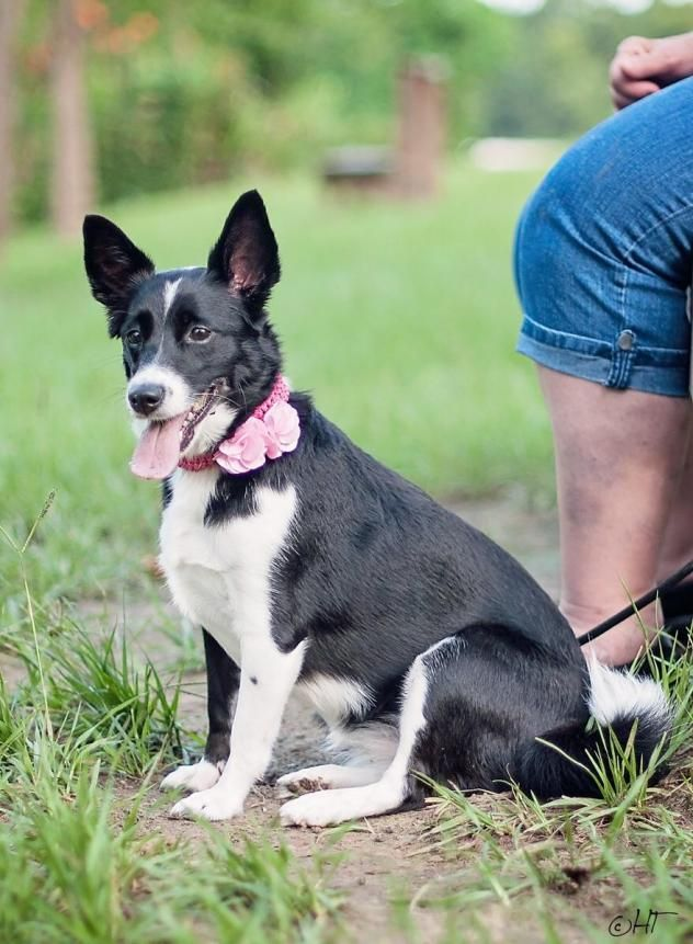 Macy: a 5 y/o corgi terrier mix weighing 20 lbs. She's a sweetheart that loves everyone and everything. She is low maintenance, house trained, and a great companion. (Petfinder) If you'd like to meet Macy, please send an email to twylasfriends@yahoo.com