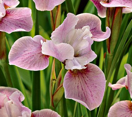 Iris Pink Haze  This choice selection, a beautiful shade of lavender-pink, has softly ruffled standards and a fine white margin on its broad falls. Recipient of the American Iris Society's highest award for Siberian Iris.