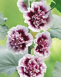 Hollyhock, Creme De Cassis - Alcea rosea Prized for providing lots of delicious white flowers with a large gorgeous raspberry center in single, semi-double and double forms on the same plant. If hollyhocks are not a favored plant in your garden, you may want to give this one a try. Zones 3-8   4-6' Tall