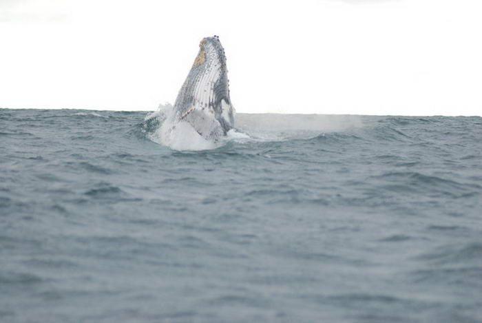 Avistamiento de Ballenas, Nuqui, Chocó, Colombia