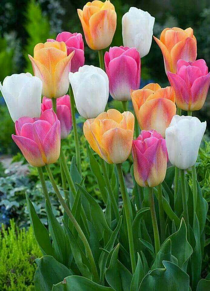 Pin by Yousef Ayadi on Flowers Tulips garden, Wonderful