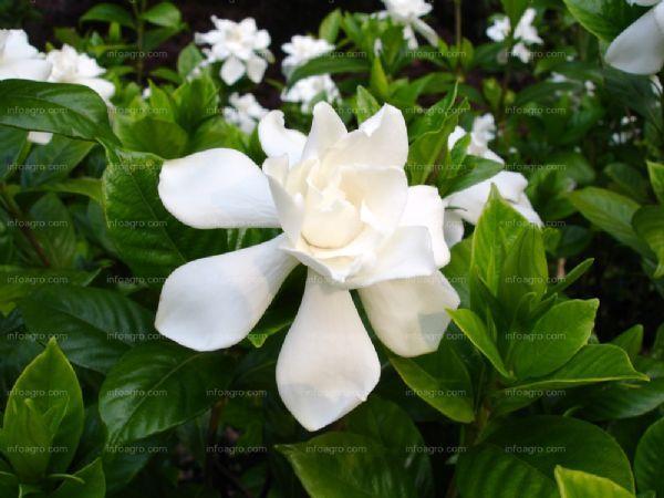 El cultivo de la Gardenia