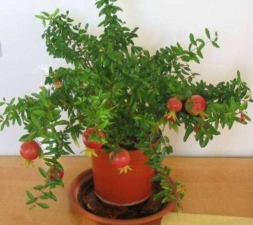Выращивание граната на подоконнике.  Гранат начинает плодоносить уже в первый год! Итак, ищем плод от домашнего граната, выращенного на подоконнике. Обязательное условие - высаживать свежие зерна в…