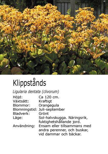 #höst giftig -- Ligularia dentata (clivorum) - Klippstånds