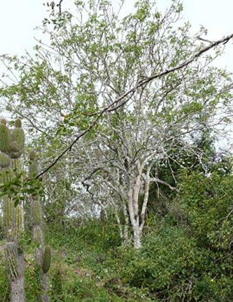 Palo Santo (Holy Wood)