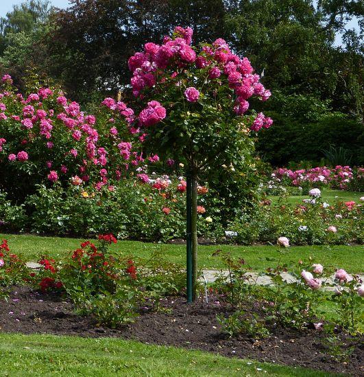 483 best images about rose garden on pinterest gardens for Garten beetgestaltung