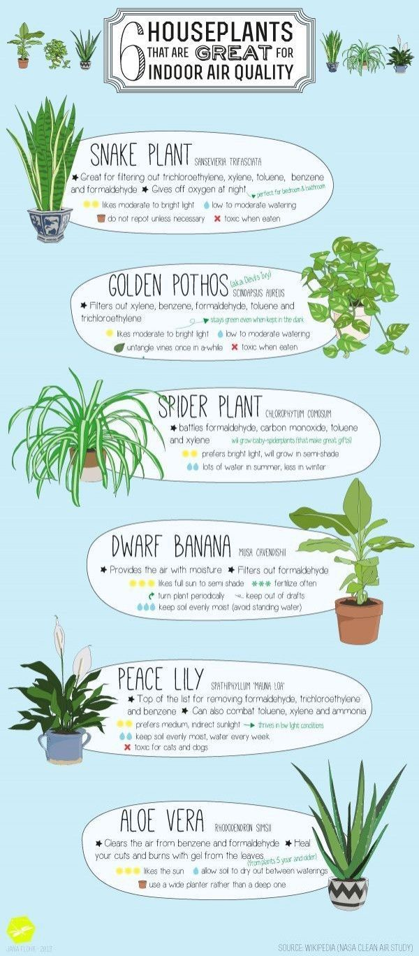 6 indoor houseplants that are great for indoor air quality - put a snake plant, golden pothos, spider plant, dwarf banana, peace lily or aloe vera plant in your home and breathe easy!
