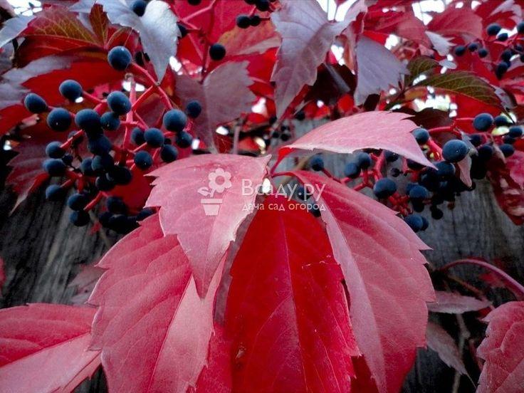 Дикий виноград фото лианы и тонкости выращивания