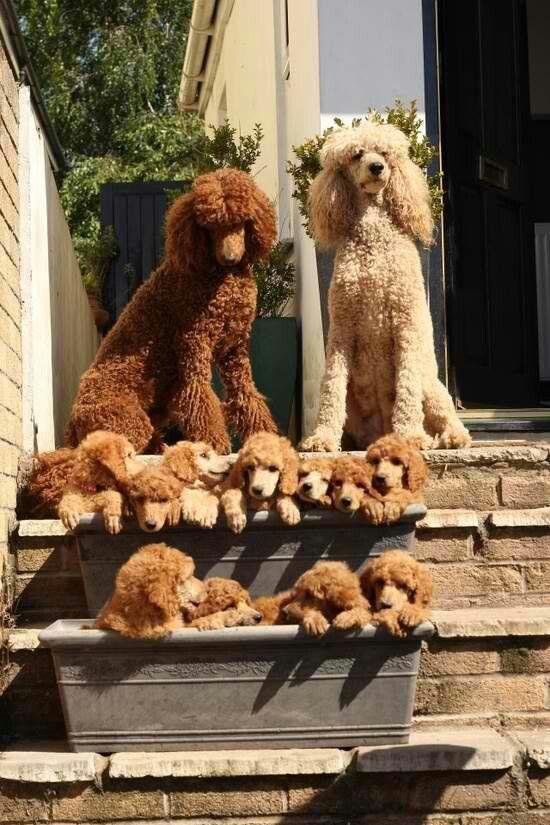 Oodles of poodles - awww! <3 Mamas orgullosas o papas preocupados?