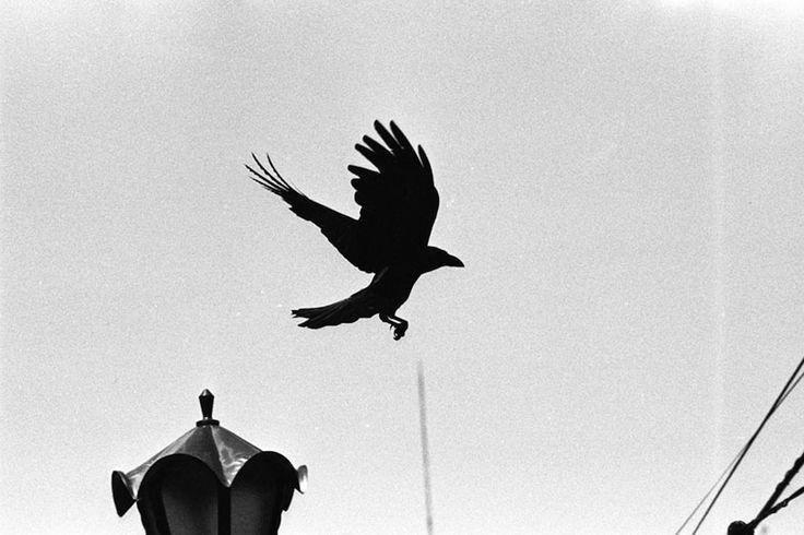 raven again