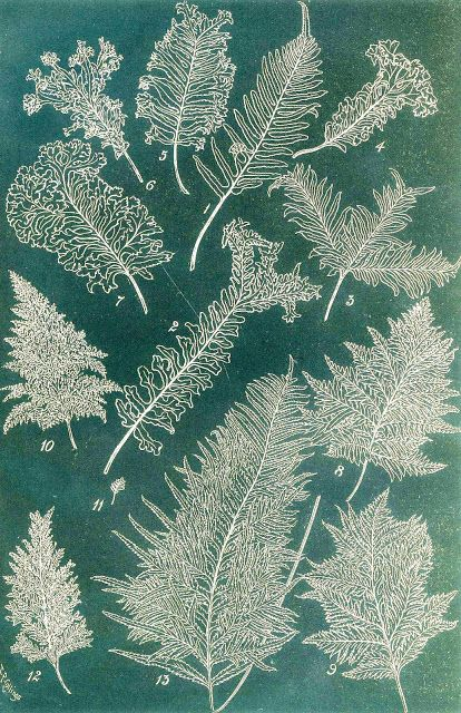 From Choice British Ferns, Charles T. Druery late 1800s.