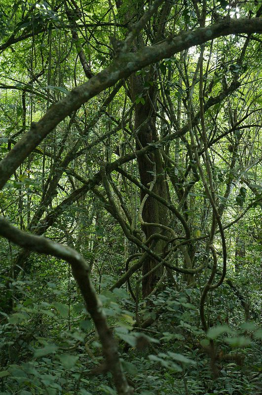 Rainforest trees and vines, Kyambura Gorge, Queen Elizabeth National Park, Uganda