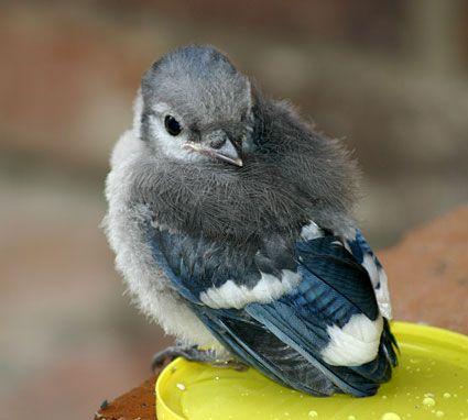 how to avoid blue jays birds eating bird food