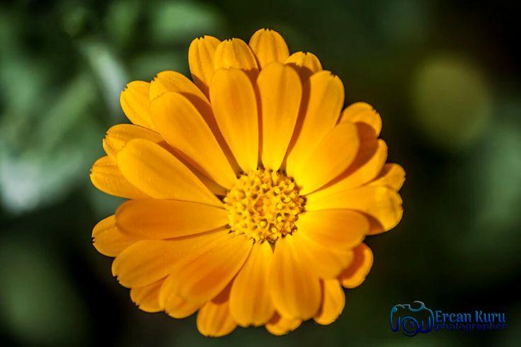 Cumanın mübarek olsun...  http://www.ercankuru.com.tr/project/cicek-bahcesi/  #çiçek  #flower  #çiçekler  #flowers  #çiçekbahçesi  #flowergarden  #çiçekçi  #florist  #makro  #macro  #sarı  #yellow  #sarıçiçek  #yellowflower