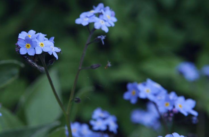 Vergeet-mij-nietjes zijn eetbaar. Strooi de bloemen als decoratie over sla, bijv. samen met bloemen van andere voorjaarsbloeiers zoals madelief, viool, primula of pinksterbloem.