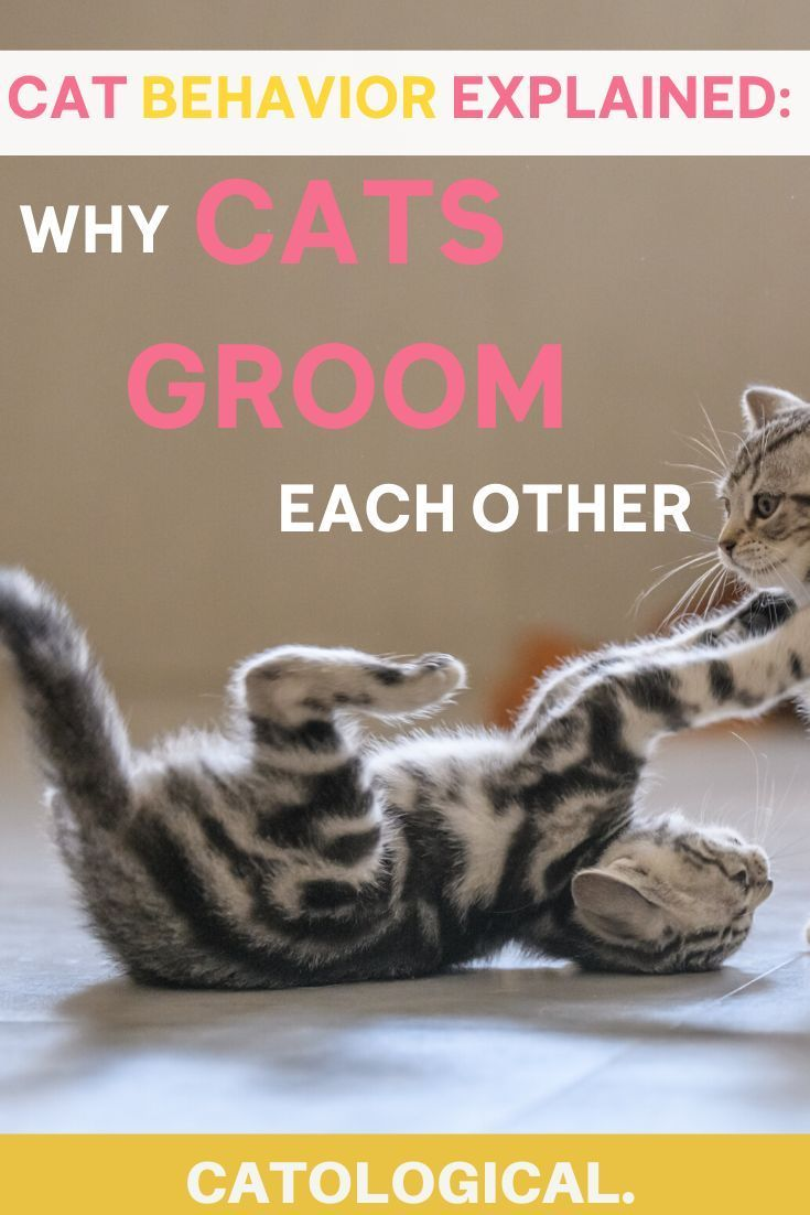 Why Do Cats Lick And Groom Each Other In 2020 Cat Grooming Cat Behavior
