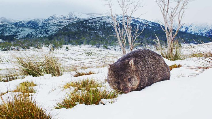 Common wombat foraging in Cradle Mountain-Lake St Clair National Park, Tasmania, Australia (© Stormfront Films/Mammoth HD)