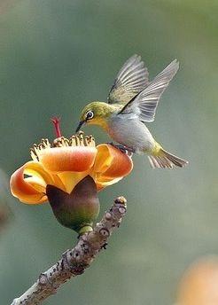 Hummingbird Beija-flor  O beija-flor, também conhecido como colibri, cuitelo…