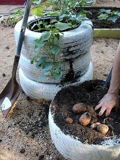 Kartoffeln pflanzen, ohne den Garten unkontrolliert zu verwuchern :)